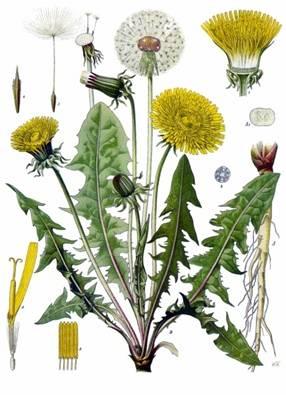 Edible Weeds of May: Dandelions
